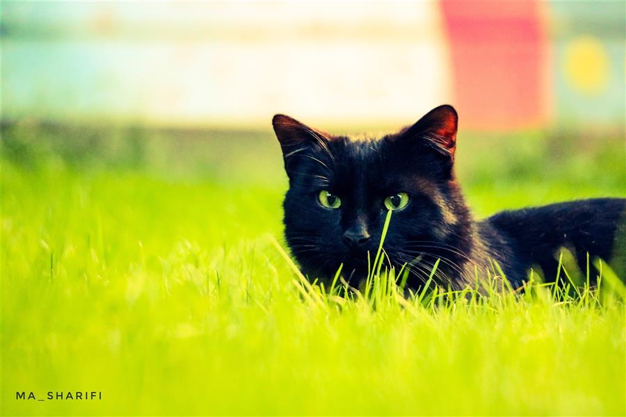 هنر عکاسی محفل عکاسی ادیب شریفی #cat #eyes #green
