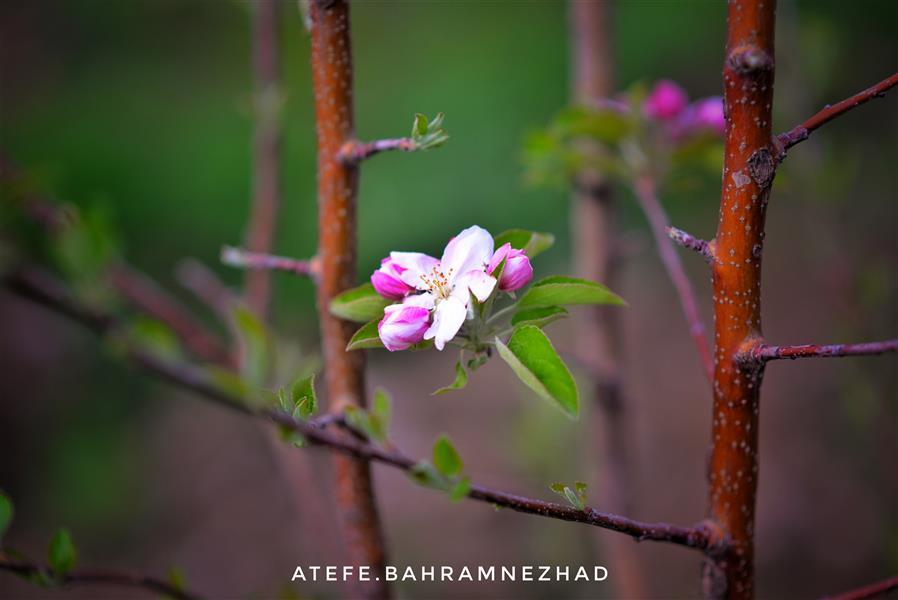 هنر عکاسی محفل عکاسی عاطفه بهرام نژاد #طبیعت #منظره #زیبا #باغ #بهار#شکوفه #گل
