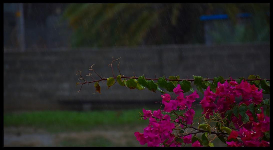هنر عکاسی محفل عکاسی Hamed #باران #گل #زندگی #طراوت