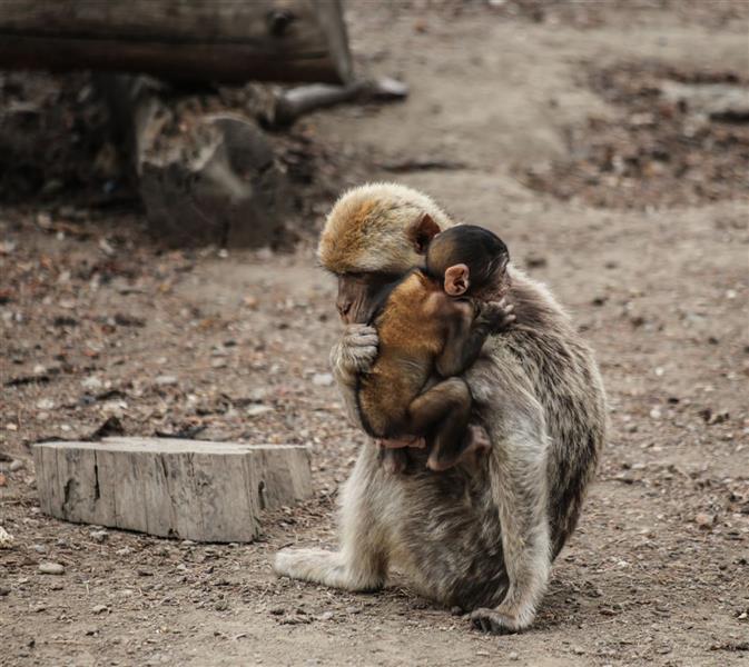 هنر عکاسی محفل عکاسی زهرا حوراسفند عکس با عنوان مهر مادری  در سال ۱۳۹۸ در باغ وحش گرجستان گرفته شده است.. #مادر #مهر_مادری_حیوانات #باغ_وحش_گرجستان