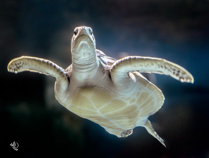 هنر عکاسی محفل عکاسی روح اله مصطفی نژادی #لاکپشت #دریایی ابعاد 50*70 کاغذ سیلک شاسی 16 میل