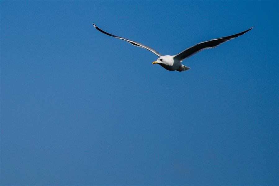 هنر عکاسی محفل عکاسی   Amin Abyari Photography #دریا #پرنده #مرغ_دریایی