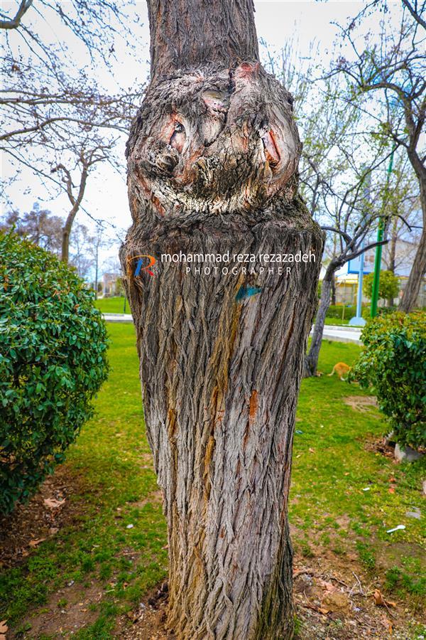 هنر عکاسی محفل عکاسی محمدرضا رضازاده از کناردرختان حاشیه خیابان خیلی آسان می گذریم اما اگر کمی  دقت کنیم می توانیم تصاویر زیبایی خلق کنیم.(پارک ملت تهران) بخشنده و سربلند و زیباست درخت  آرام و عمیق مثل دریاست درخت  وقتی که شکست، در دل خود گفتم مظلومترین زندهی دنیاست درخت