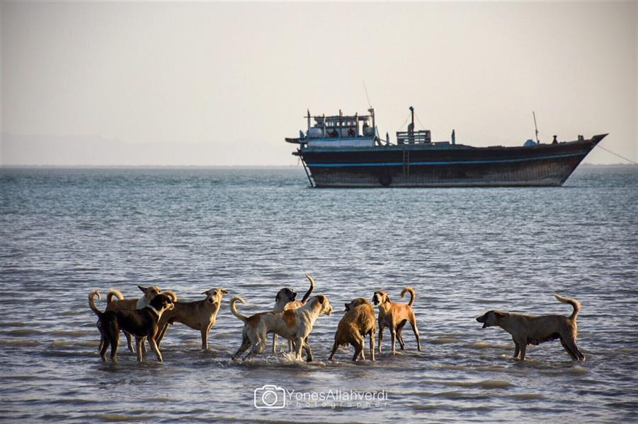 هنر عکاسی محفل عکاسی یونس اله وردی حمله دو دسته سگ به هم