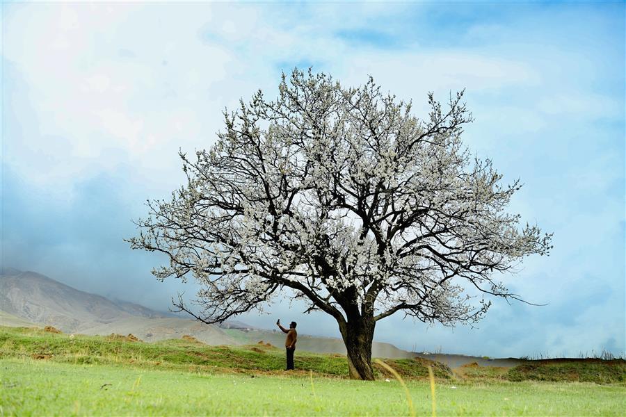 هنر عکاسی محفل عکاسی اکبر رفاهی #شکوفه#گل#درخت#بهار ای شاخ تر برقصا عکاس: اکبر رفاهی