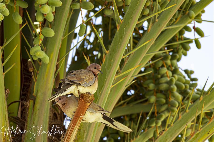 هنر عکاسی محفل عکاسی مهران شوشتری یک جفت یا کریم بر روی شاخه های نخل #پرنده #کبوتر #درخت #نخل #اهواز #خوزستان #ایران #طبیعت