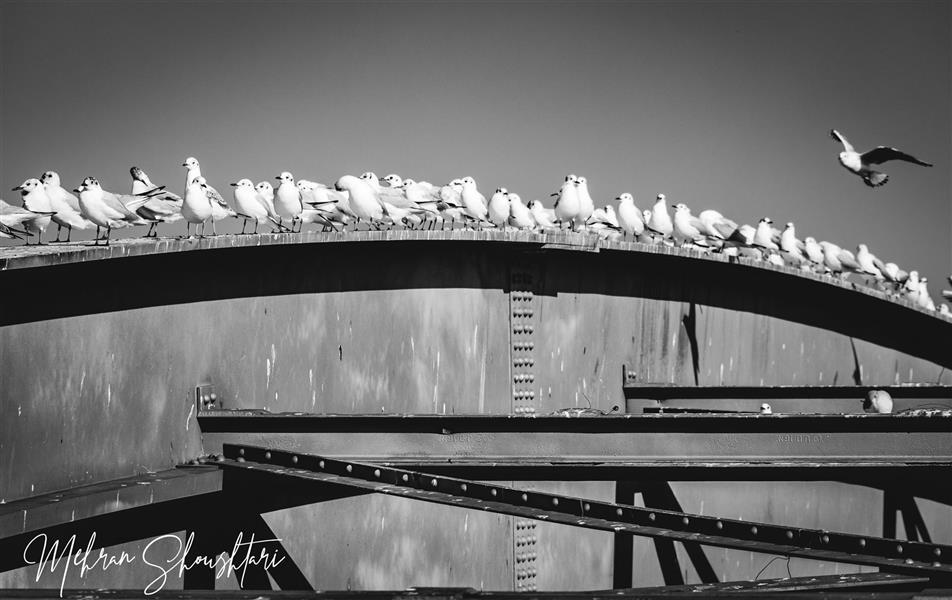 هنر عکاسی محفل عکاسی مهران شوشتری استراحت پرنده های مهاجر بر روی پل سفید اهواز-خوزستان در زمستان #سیاه_و_سفید #پل #پرنده #پل-سفید #اهواز