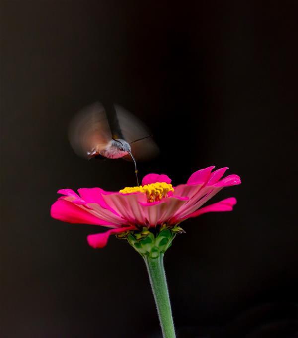 هنر عکاسی محفل عکاسی محسن فروغی فر نور طلایی نقطه ای صبحگاهی، پروانه ای گرسنه و گلی زیبا و لذیذ. یک وقت طلایی. ۵۰×۷۰