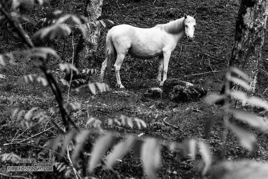 هنر عکاسی محفل عکاسی hossein saki #hossein _saki #horse #forest #mother
