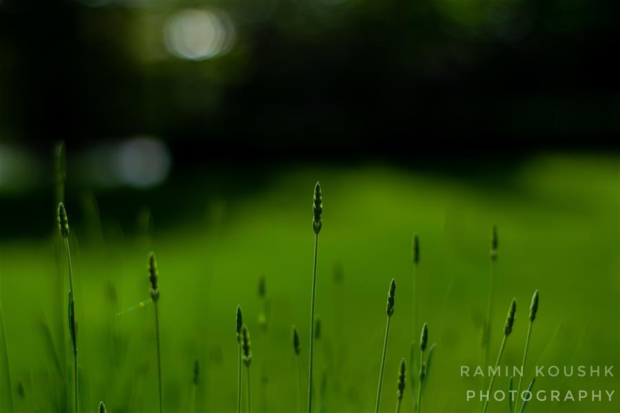 هنر عکاسی محفل عکاسی رامین کوشک سرایی سبز به رنگ زندگی
