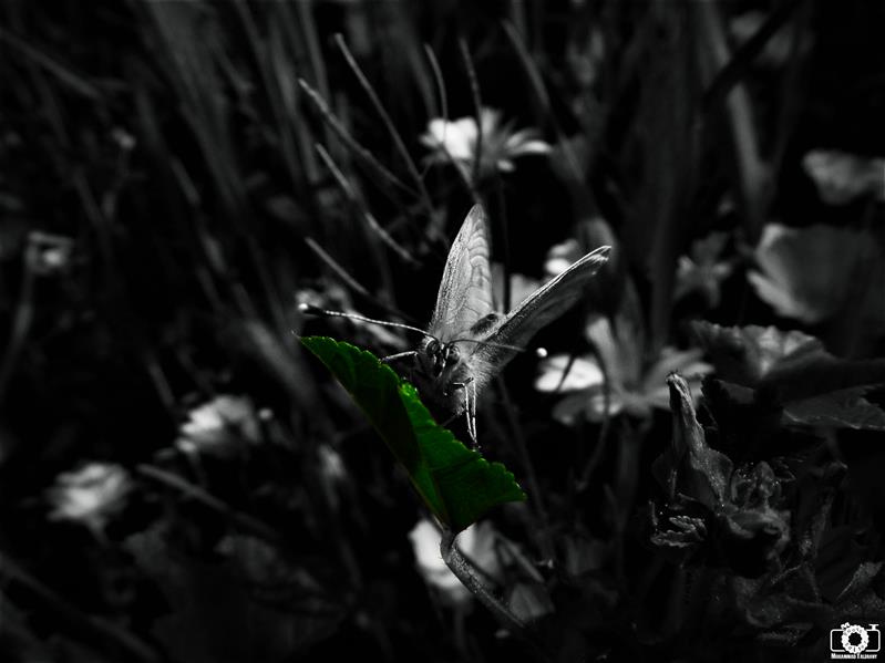 هنر عکاسی محفل عکاسی محمد طالقانی Butterfly #محمد_طالقانی #Black_white