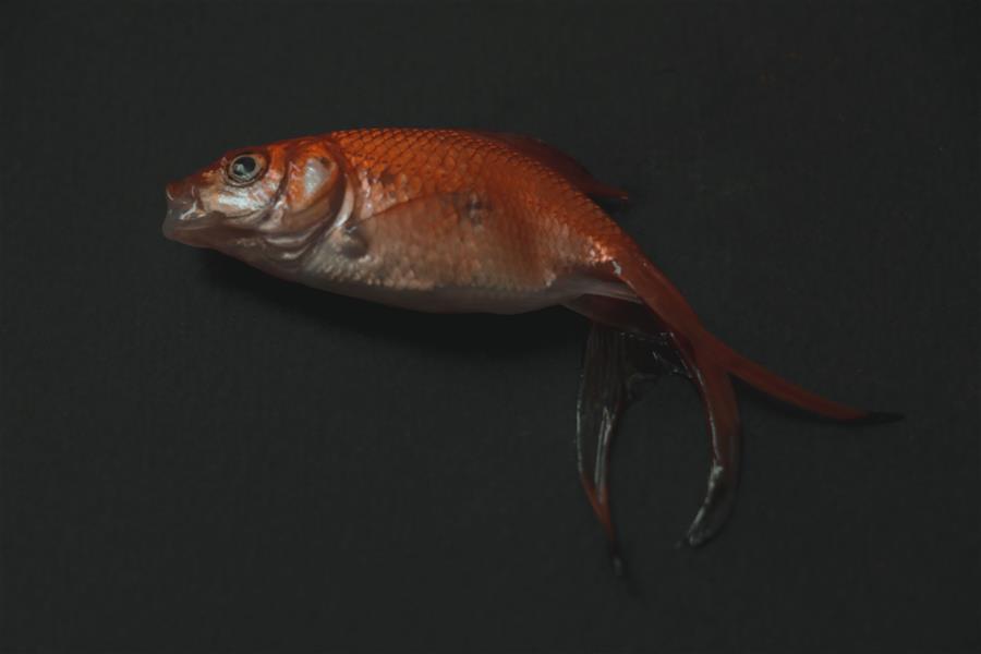 هنر عکاسی محفل عکاسی میرمسعودرضایی #ماهی تنهای عید من