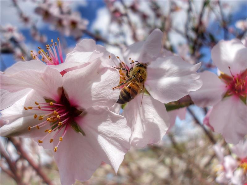 هنر عکاسی محفل عکاسی peshawa alizadeh زیبایی های بهار #بهار #زنبور #شکوفه #طبیعت