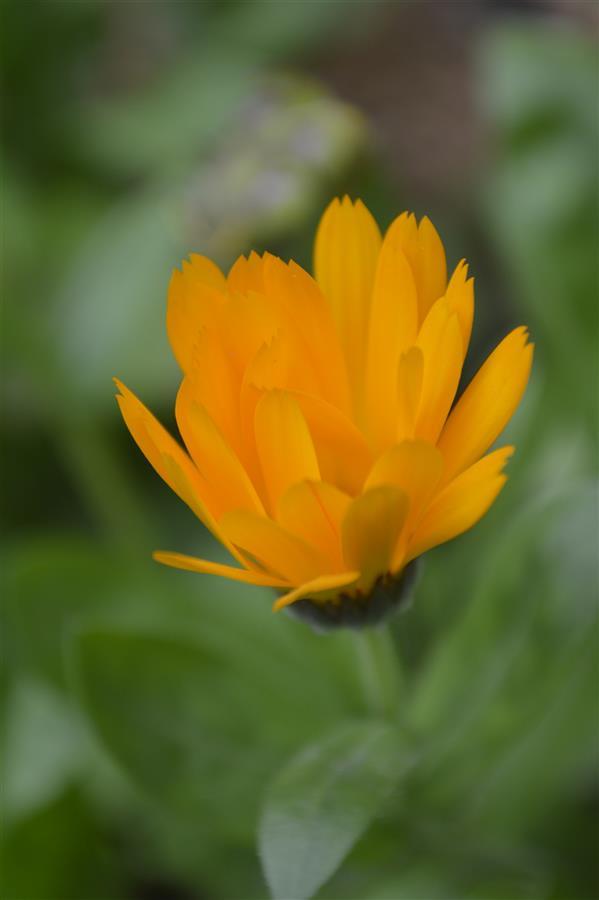 هنر عکاسی محفل عکاسی علیرضا محبتی #عکس #طبیعت #گل ترکیب رنگ زرد و سبز سال 1395 - عکاس: علیرضا محبتی