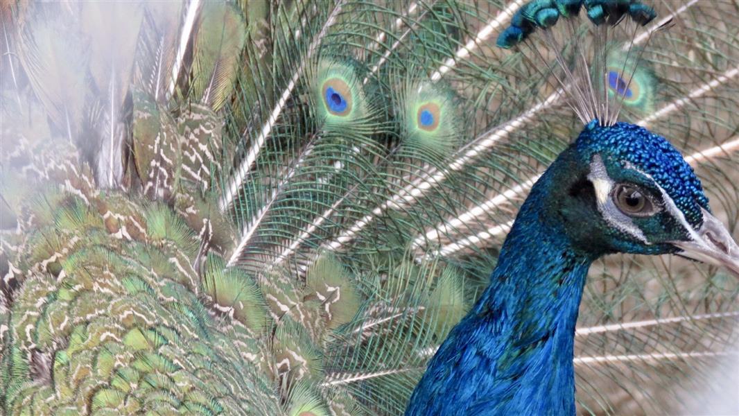 هنر عکاسی محفل عکاسی mostafafatemian دنیای هزار رنگ طاووس