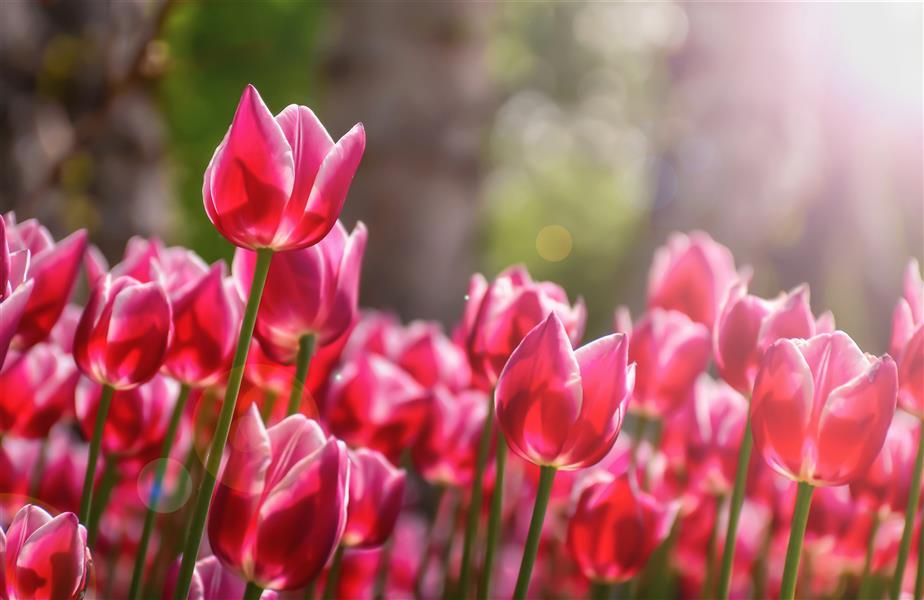 هنر عکاسی محفل عکاسی امیرسالار لاکچی گل های لاله photo by me