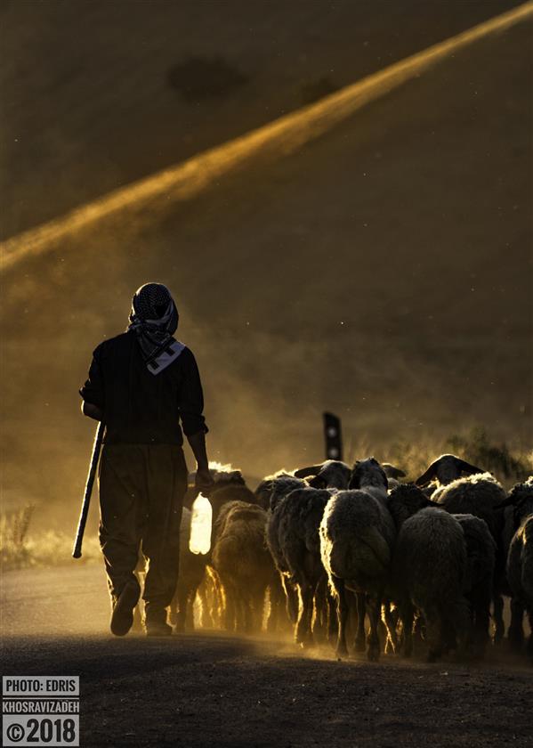 هنر عکاسی محفل عکاسی Edris Khosravizadeh مرد چوپان و گوسفندانش در نور غروب  سایز ۵۰*۷۰ کاغذ سیلک روی شاسی