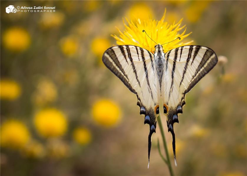 هنر عکاسی محفل عکاسی علیرضا ظهیری سروری عکس از پروانه در طبیعت همدان