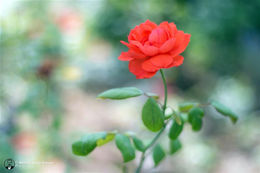 هنر عکاسی محفل عکاسی علیرضا ظهیری سروری رز نارنجی