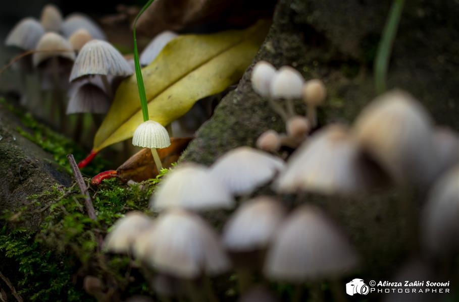 هنر عکاسی محفل عکاسی علیرضا ظهیری سروری قارچ کوچک جنگلی سفید