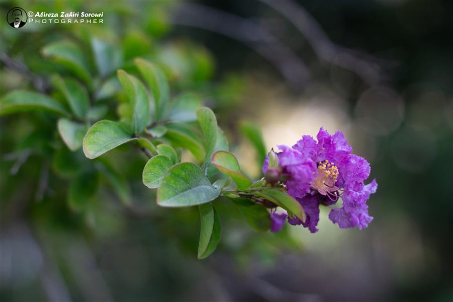 هنر عکاسی محفل عکاسی علیرضا ظهیری سروری گل درختچه توری!