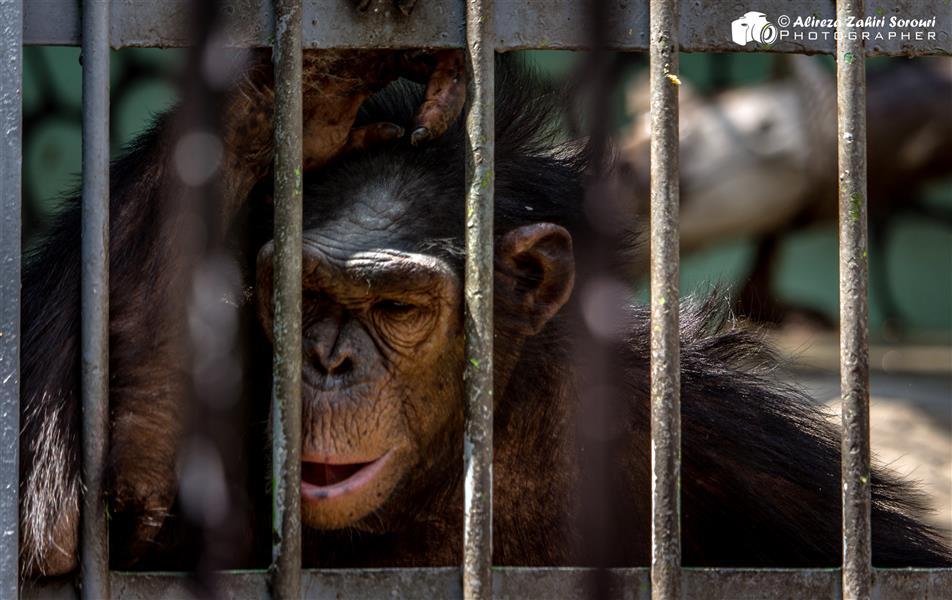 هنر عکاسی محفل عکاسی علیرضا ظهیری سروری غمگین در قفس