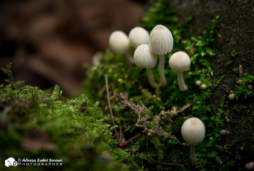 هنر عکاسی محفل عکاسی علیرضا ظهیری سروری ماکروگرافی از قارچهای کوچک سفید جنگلی