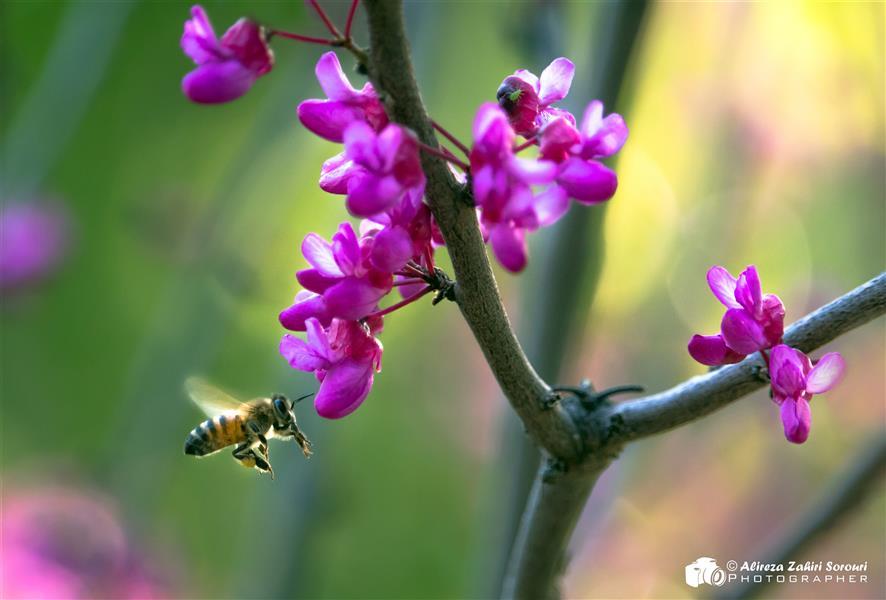 هنر عکاسی محفل عکاسی علیرضا ظهیری سروری زنبور عسل