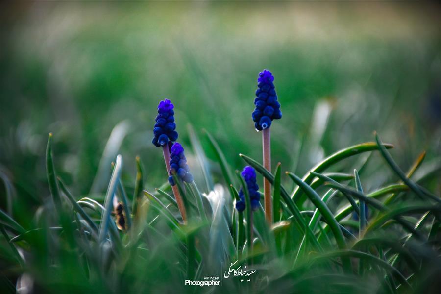 هنر عکاسی محفل عکاسی سعید خیاط کاخکی #بهار #گل #گل_روغنی #بهاری #بنفش