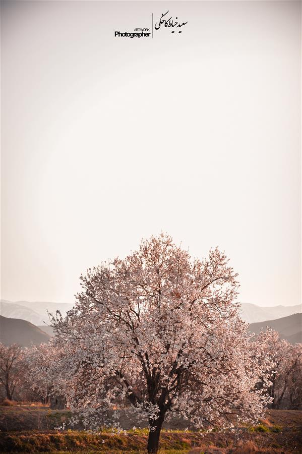 هنر عکاسی محفل عکاسی سعید خیاط کاخکی #شکوفه #بهار #گل