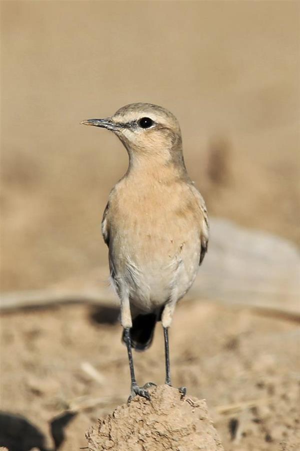 هنر عکاسی محفل عکاسی منصور رضائی زاده دم جنبانک. زیستگاه این پرنده در مناطق معتدل از جمله استان همدان است.