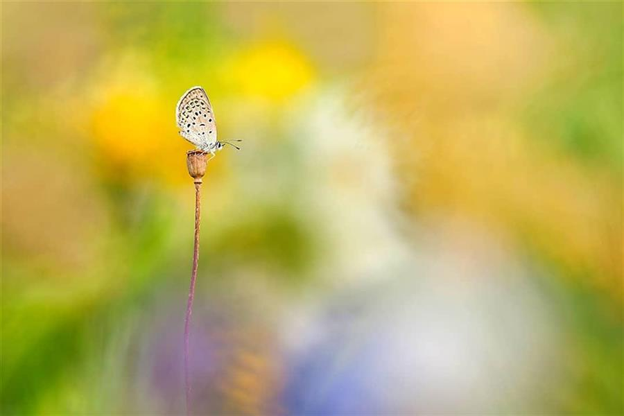 هنر عکاسی محفل عکاسی حسام استوار دره شوری #عکاسی_ماکرو #عکاسی_از_پروانه_ها #بوکه_در_عکاسی #پروانه_های_ایران #ماکرو_گرافی  #حسام_استوار #نقاشی_با_عکاسی