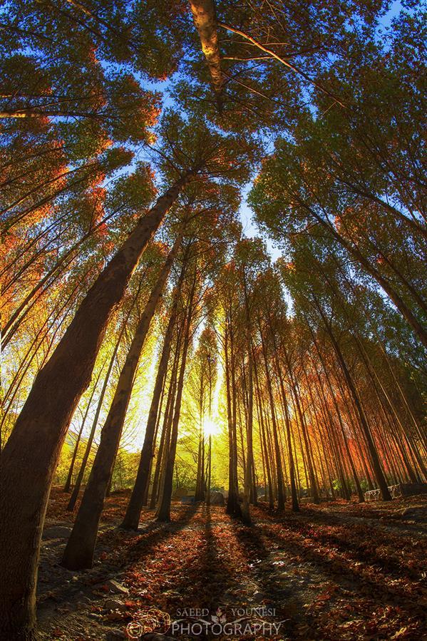 هنر عکاسی محفل عکاسی سعید یونسی  درختان پاییزی