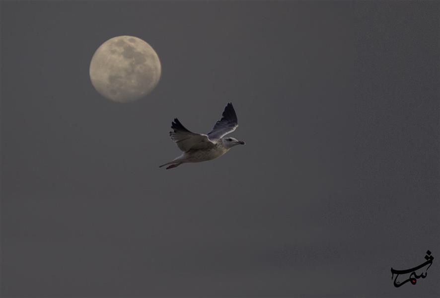هنر عکاسی محفل عکاسی Alirezashams ماه و پرنده