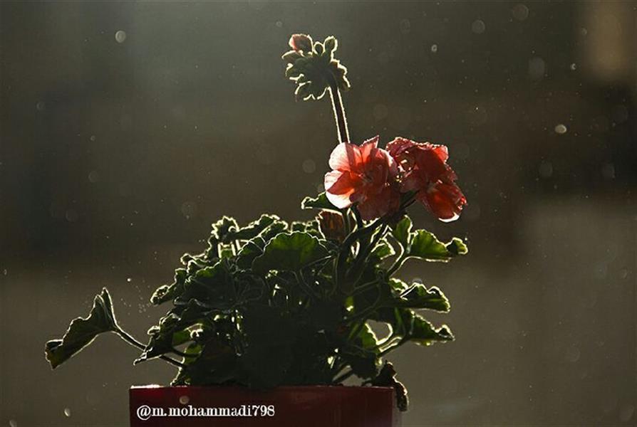 هنر عکاسی محفل عکاسی مهدی محمدی شمعدانی زیر باران