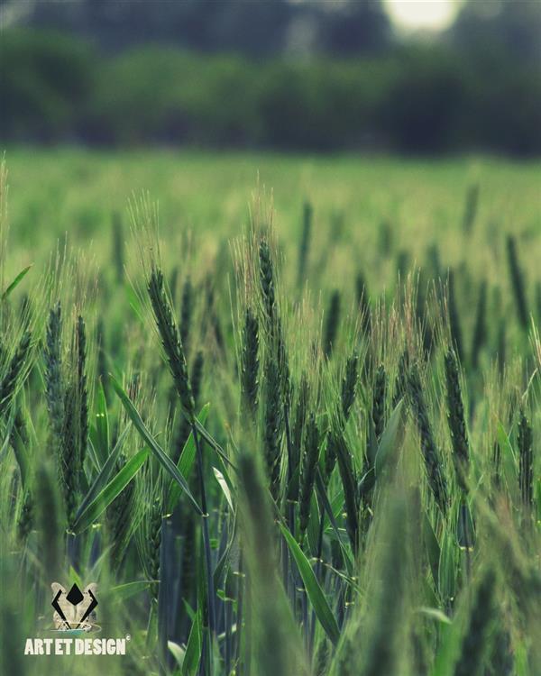 هنر عکاسی محفل عکاسی Art et design #green_wheat2