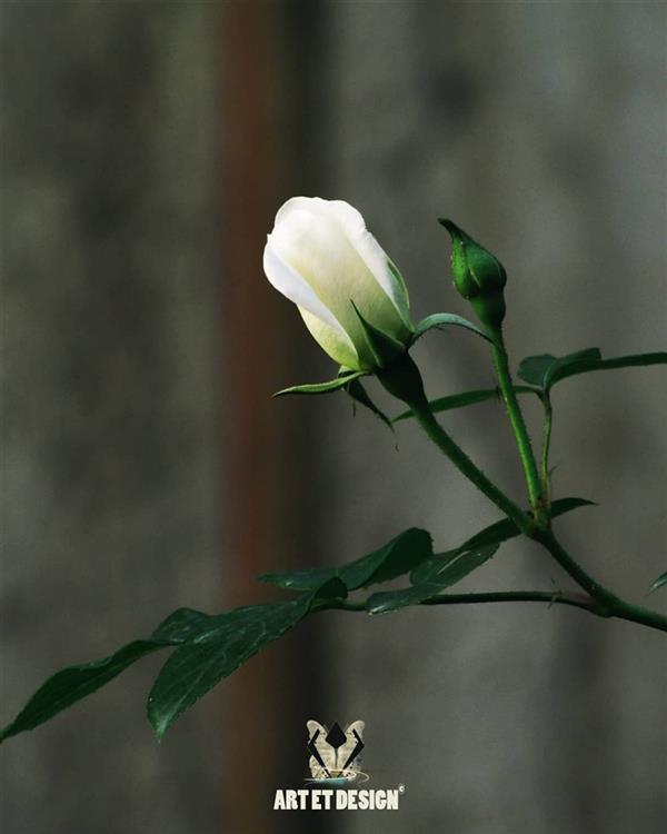 هنر عکاسی محفل عکاسی Art et design White flowers