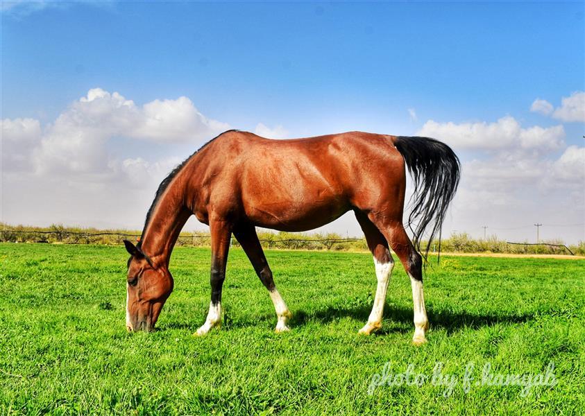 هنر عکاسی محفل عکاسی فربد کامیاب منطقه سمیرم سیاه چادرها .اسب با نژاد دره شوری
