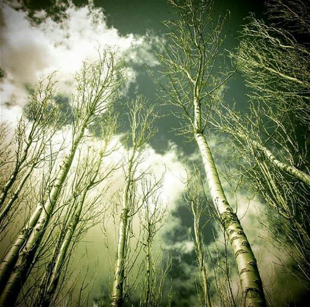 هنر عکاسی محفل عکاسی مسعودیعقوبی # درختان چنارسربه آسمان کشیده در روزهای آغازین سال در یکی از باغهای شهرزیبای تکاب از توابع آذربایجان غربی