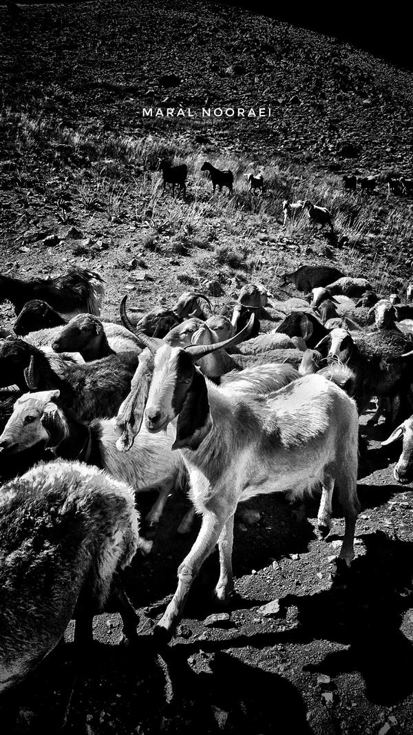 هنر عکاسی محفل عکاسی مارال نورائی #100hoonar#گله#گوسفندان#بیابان#عکاسی#عک#