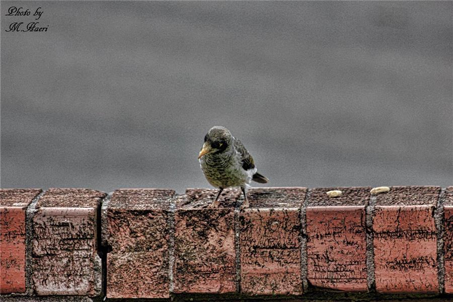 هنر عکاسی عکاسی مینیمال Mehdi Haeri پرنده- پرنده در حال صدازدن جفتش برای تکه ای نان بر روی لبه دیوار. تاریخ 2015 Jan