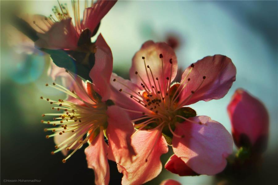 هنر عکاسی بهار Hossein MohammadPour شکوفۀبهاری