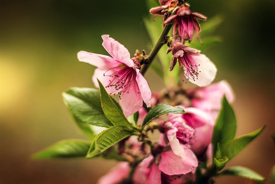 هنر عکاسی بهار حمید راستین شکوفه های بهاری