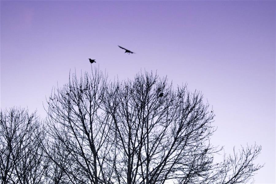 هنر عکاسی عکاسی سیلوئت یا ضد نور احمدرضا یزدانی #پرنده #درخت #آشیانه #پرواز #سکون